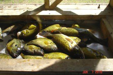 panfish_070610
